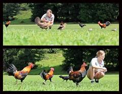 Hawaiian Chickens (DaveFlker) Tags: kauai chickens hawaii hens roosters