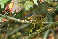 Autumn leaf peeper (Shannon Rose O'Shea) Tags: shannonroseoshea shannonosheawildlifephotography shannonoshea shannon greenheron heron bird birdyfeet feathers wings butoridesvirescens nature wildlife waterfowl skinnylegs yellowlegs yellowfeet yelloweye leaves autumn autumncolors branch branches outdoors outdoor colorful wildwoodlake harrisburg pennsylvania dauphincounty green art wild wildlifephotography photo photography camera canon canoneos80d canon80d eos80d 80d canon100400mm14556lisiiusm fall leafpeeper duckweed