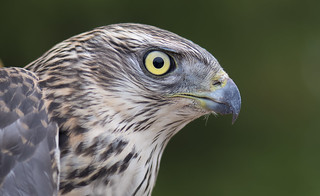 Young Male Goshawk