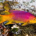 Spanish Hogfish - Bodianus rufus thumbnail