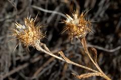 *Centaurea melitensis. TOCALOTE. (openspacer) Tags: asteraceae centaurea invasive nonnative thistle tocalote