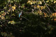 Martin-pêcheur d'Europe (Alcedo atthis) (aurelien.ebel) Tags: alcedoatthis alcédinidae alcédinidés animal ardeacinerea ardéidae ardéidés aves birds commonkingfisher coraciiformes greyheron héroncendré martinpêcheurdeurope oiseau pélécaniformes