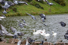 St Margarets Loch September 2017-51 (Philip Gillespie) Tags: focus panning tracking birds motion swans ducks geese pigeons seagulls gulls water park nature outdoors wildlife canon eos 5dsr outside hill grass green blue white black mono monochrome colour wings feathers people kids men women girls boys bench feeding food contrast beaks bills rain spread flying swimming wet drops sky clouds eyes splash drip sitting ruin tree bird