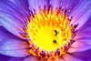 Una flor muy hermosa. Pero es una trampa. (Urschner Bär) Tags: blume botanicalgarden botanischergarten dominicanrepublic falle jardinbotaniconacional lotusblume nelumbonucifera republicadominicana républicdominicaine santodomingo fleur flor flordeloto flower jardinbotanique lotusflower lotussacré piège tramp trampa