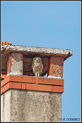 _DSC0040_Chevêche d'Athéna (patounet53) Tags: athenenoctua chevêchedathéna littleowl strigidés strigiformes bird oiseau