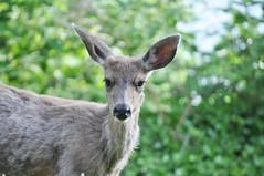 "Young buck on the lawn 6 (Tynan Phillips) Tags: nature nikon nikond90 d90 dslr denmanisland bc britishcolumbia canada canadian animals animal wildlife deer ""columbianblacktaileddeer"" ""blacktaileddeer"" buck ""maledeer"" antler antlers"