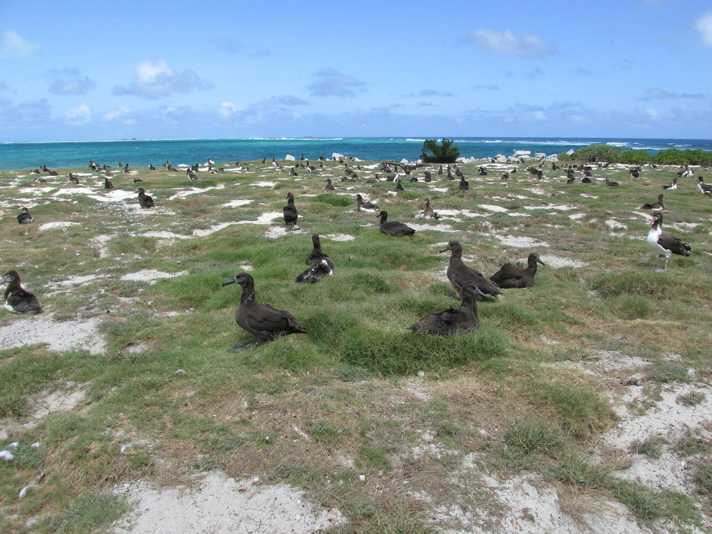 starr-170623-9826-Cynodon_dactylon-nice_patch_with_Laysan_and_Black_Footed_Albatross_chicks-Bulky_Dump_Sand_Island-Midway_Atoll