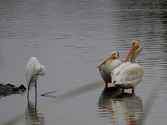 who is he anyway ? (timber1212) Tags: ebparksok ebrp coyotehills fremontca california sfbayarea bird american white pelican snowyegret marsh