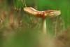 Low-level toadstool (Ron and Co.) Tags: mushroom fungi fungus toadstool macro grass gill mouseholdheath