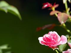 Rosa de jardí