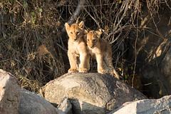 Lion cubs (mayekarulhas) Tags: krugerpark mpumalanga southafrica za lion cubs wild wildlife