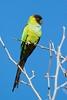 Ñanday (LeoNardo 316) Tags: ñanday cotorra cotorracapuchanegra pajaro ave bird vogel