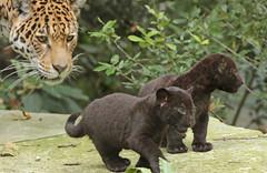 jaguar Rica with cubs born 28 6 2017 artis BB2A2887 (j.a.kok) Tags: jaguar blackjaguar zwartejaguar pantheraonca artis animal mammal zoogdier dier rica zuidamerika southamerica kat cat cubs jaguarcub