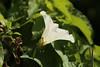 Calystegia sepium (dhobern) Tags: 2017 august denmark europe søborg utterslevmose solanales convolvulaceae calystegiasepium