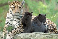 jaguar Rica with cubs artis BB2A7595 (j.a.kok) Tags: jaguar jaguarcub blackjaguar zwartejaguar cub welp jaguarwelp rica moederenkind motherandchild artis animal mammal kat cat predator zuidamerika southamerica zoogdier dier pantheraonca