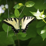 Butterfly I thumbnail