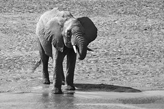 DRINKING SOME WATER B+W (Mike Reval) Tags: samburu kenya elephant bw