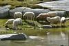 Pecore presso il Rifugio Serristori (giorgiorodano46) Tags: agosto2017 august 2017 giorgiorodano nikon rifugioserristori düsseldorferhütte pecore pozzanghera puddle sheep mouton sudtirolo altoadige solda sulden italy