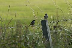 Happy Birdy Fence Friday (jillyspoon) Tags: hff field farming fence fencefriday happyfencefriday fencepost birds twobirds green canon canon70d canon70200 canon70200mm