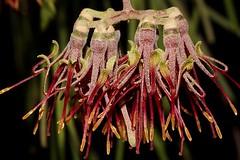 Amyema cambagei (andreas lambrianides) Tags: amyemacambagei loranthaceae loranthuscambagei australianflora australiannativeplants australianmistletoes nsw qld