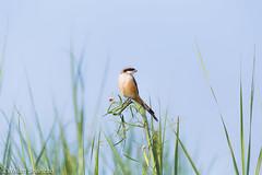 Long Tailed Shrike (Wasim Shahzad) Tags: longtailedshrike birdsofpakistan birding birdwatching insecteaters