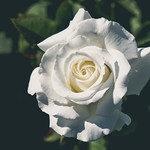White Rose, Duluth Rose Garden (8/8/17) #roses thumbnail