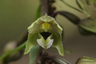 Broad-leaved Helleborine - Epipactis helleborine