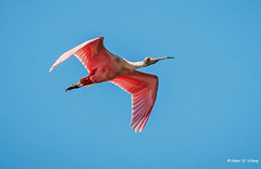A Fly-by Roseate Spoonbill (Thank you, my friends, Adam!) Tags: adamzhang orlando lakemary nikkor super telephoto lenses closeup teleconverter ngc 漂亮 nikon dslr 长焦 长焦镜头 尼康 镜头 中佛州 野生动物 保护区 单反 lens central florida wildlife macro flower beauty curve 美丽 color colorful colors 色彩 多姿 beautiful gorgeous gallery fine art photography photographer excellent interesting explore fun nice unique roseate spoonbill roseatespoonbill 玫瑰琵鷺