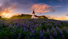 Vik (Piriya Pete Wongkongkathep) Tags: vik lupine flower sunset church summer iceland