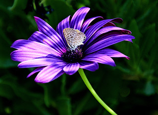 Long-tailed Blue - Lampides boeticus - on an African Daisy - Osteospermum