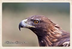 AGUILA REAL HEMBRA (Aquila chrysaetos) (JORGE AMAYA BUSTAMANTE - JAKKEMATE) Tags: jakkemate jorge amaya bustamante nikon d500 sigma 150500 aguila real peñalara parque nacional del guadarrama golden eagle aquila chrysaetos