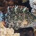 Floral Wrasse, initial phase - Cheilinus chlorourus