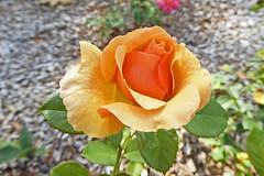 2017.08.06.004 PARIS - parc de bagatelle, roseraie (alainmichot93 (Bonjour à tous - Hello everyone)) Tags: 2017 france îledefrance seine paris paris16èmearrondissement boisdeboulogne parcdebagatelle roseraie rose fleur flower flora