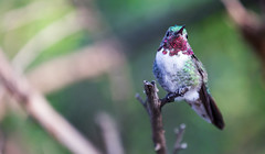 A beautiful hummingbird (Sebastian Feuerherm) Tags: humming bird animal usa arizona highway1 bokeh tree green colorful colors close up macro