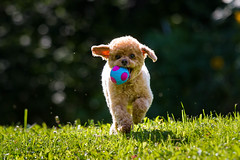 32/52 Pyper - Yippee, I got a new ball!!! (Pyper Pup) Tags: 52weeksfordogs pyper red toypoodle ball playing