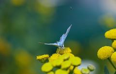 Common blue - Icarusblauwtje (joeke pieters) Tags: 1350808 panasonicdmcfz150 blauwtje blue vlinder butterfly schmetterling papillon insect bokeh icarusblauwtje commonblue hauhechelbläuling platinumheartaward ngc