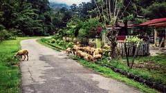 https://foursquare.com/v/hutan-lipur-gua-batu-maloi/549556ee498ed8ab0f39546d #green #sheep #nature #travel #holiday #Asia #Malaysia #negeriSembilan #johol #羊 #大自然 #绿色 #度假 #旅行 #亚洲 #马来西亚 #森美兰