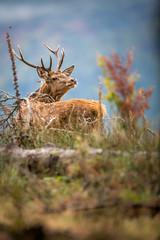 _E4A8182 (Patrick d'Alsace) Tags: france forêt faune cerfs alsace animaux animal automne