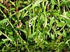 Gewöhnliches Pfeilkraut - Sagittaria sagittifolia, NGID307041151 (naturgucker.de) Tags: ngid307041151 naturguckerde gewöhnlichespfeilkraut sagittariasagittifolia 915119198 92636685 987993888 chorstschlüter