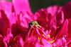 Sadness, do not lie on your heart... (ZXDemon) Tags: бронзовки букашка насекомое насекомые жучок жуки жучки bugs insects cetoniinae