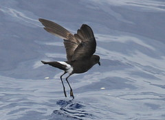 Wilson's Storm-Petrel. (c) Michael M Brothers 2017 All rights reserved.