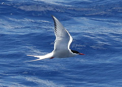 Arctic Tern (c) Michael M Brothers 2017 All rights reserved.