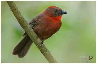 Red-throated Ant-Tanager / Tangara-Hormiguera Gorguirroja