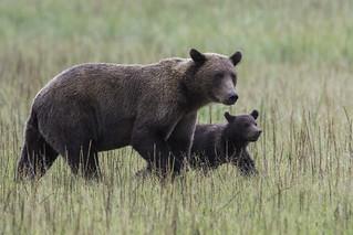 Brown Bears in meadow