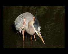 In Explore... Great blue heron scratch (John's Love of Nature) Tags: greatblueheron ardeaherodias inexplore johnkelley
