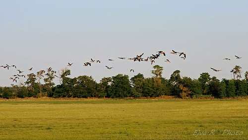 Summer Wild goose / Vadludak Nyár