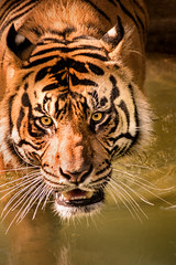 Tiger in Water 3-0 F LR 8-13-17 J126 (sunspotimages) Tags: wildlife tiger tigers nature zoos zoosofnorthamerica zoo fonz fonz2017 bigcats bigcat nationalzoo