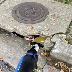 """We All Play Frisbee Down Here"" (Bill Adams) Tags: explore stephenking kiko kikokikoshinyuu kikokikoshin'yuu horror it iphone maryland middleriver puppy dog bordercolliemix blueheeler bordercollie clown pennywise"