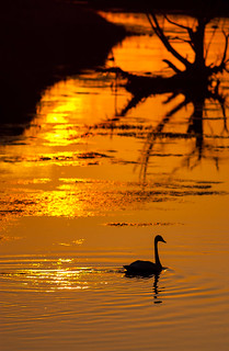 Trumpeter Swan at sunset - Cygnus buccinator