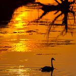 Trumpeter Swan at sunset - Cygnus buccinator thumbnail